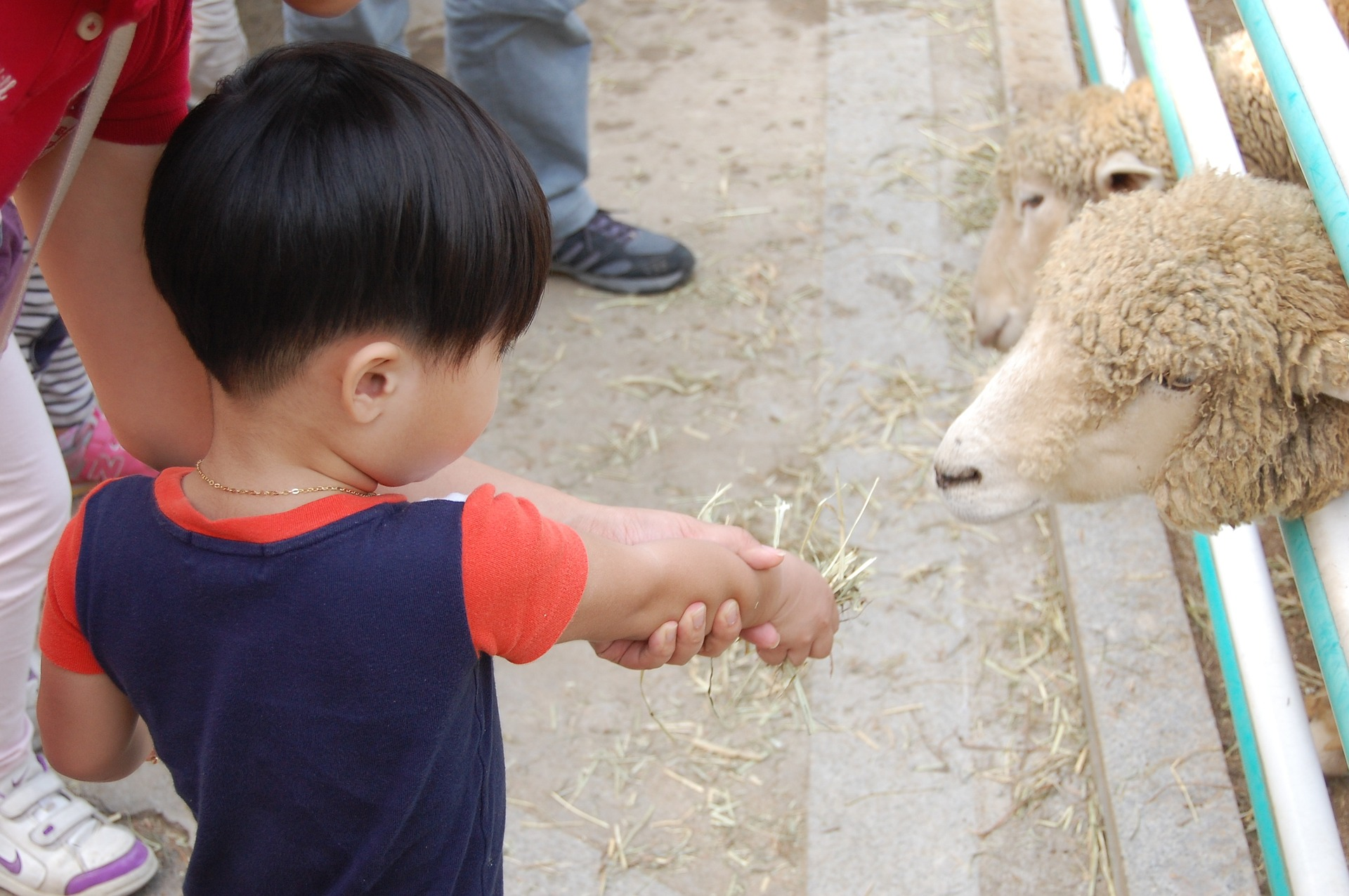 boy_feeding_lamb