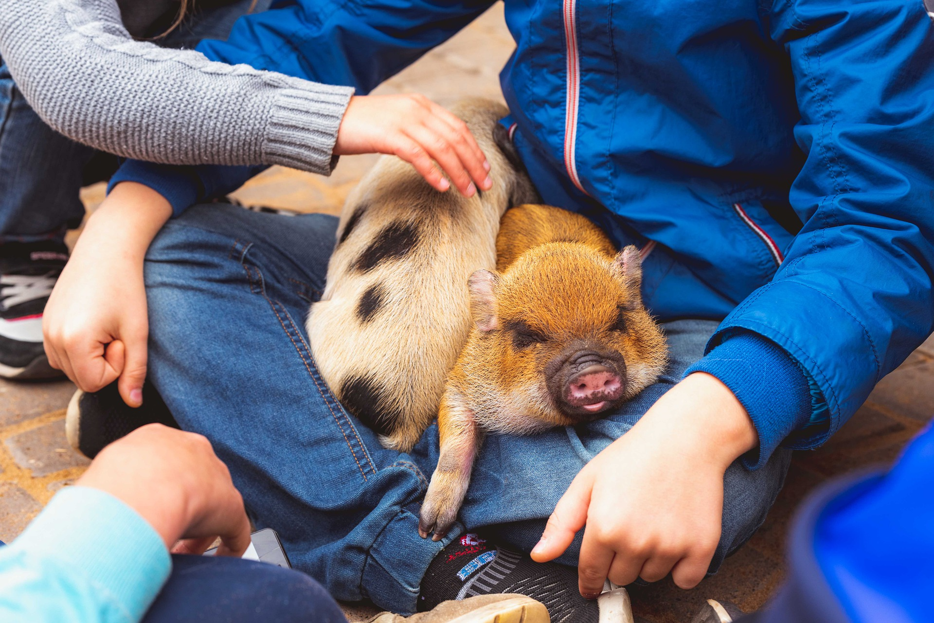 piglets_in_childrens_lap